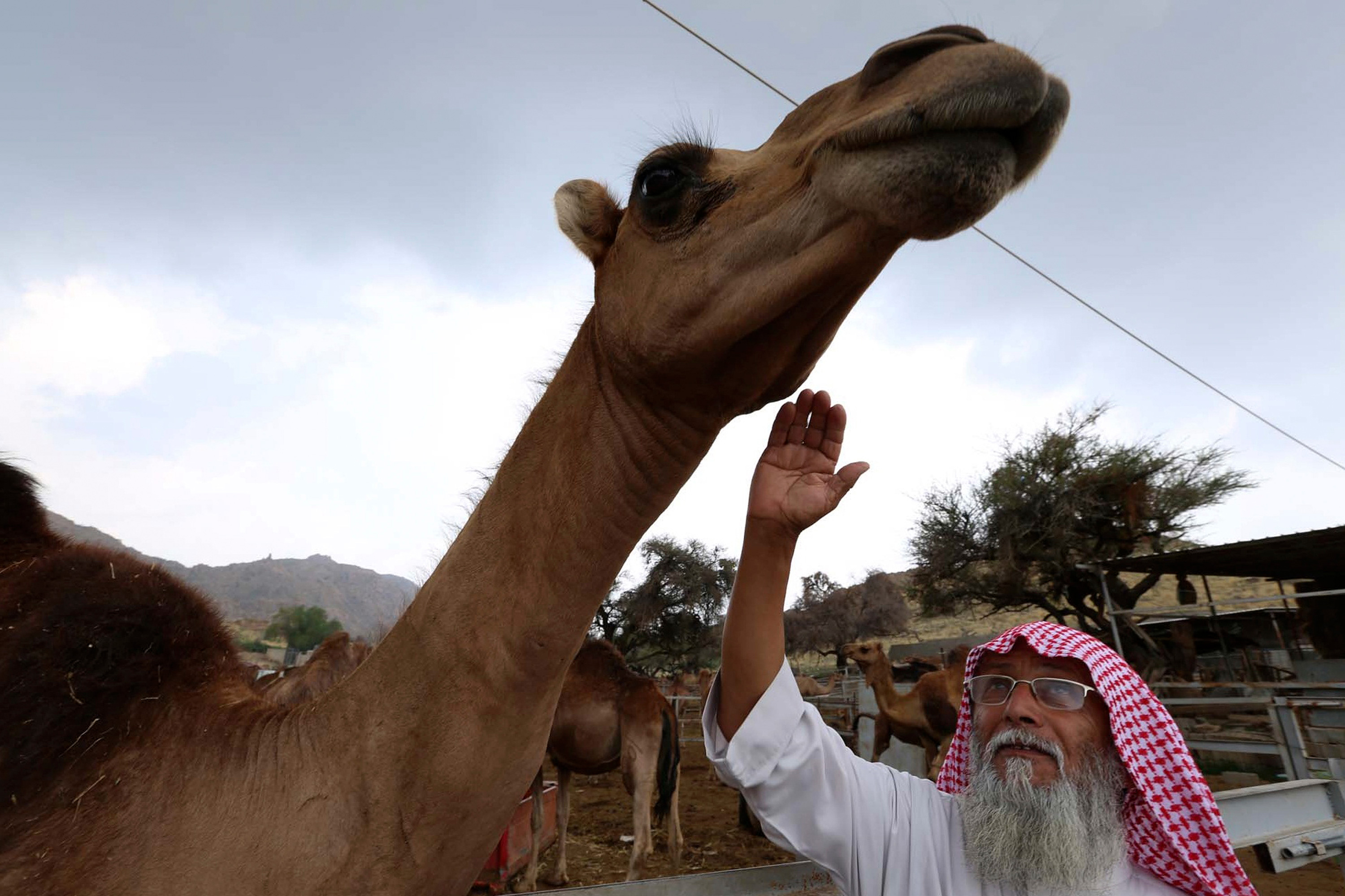 The man is older, with a long white beard, and he is reaching up to tough the head or neck of a camel that is towering over him.