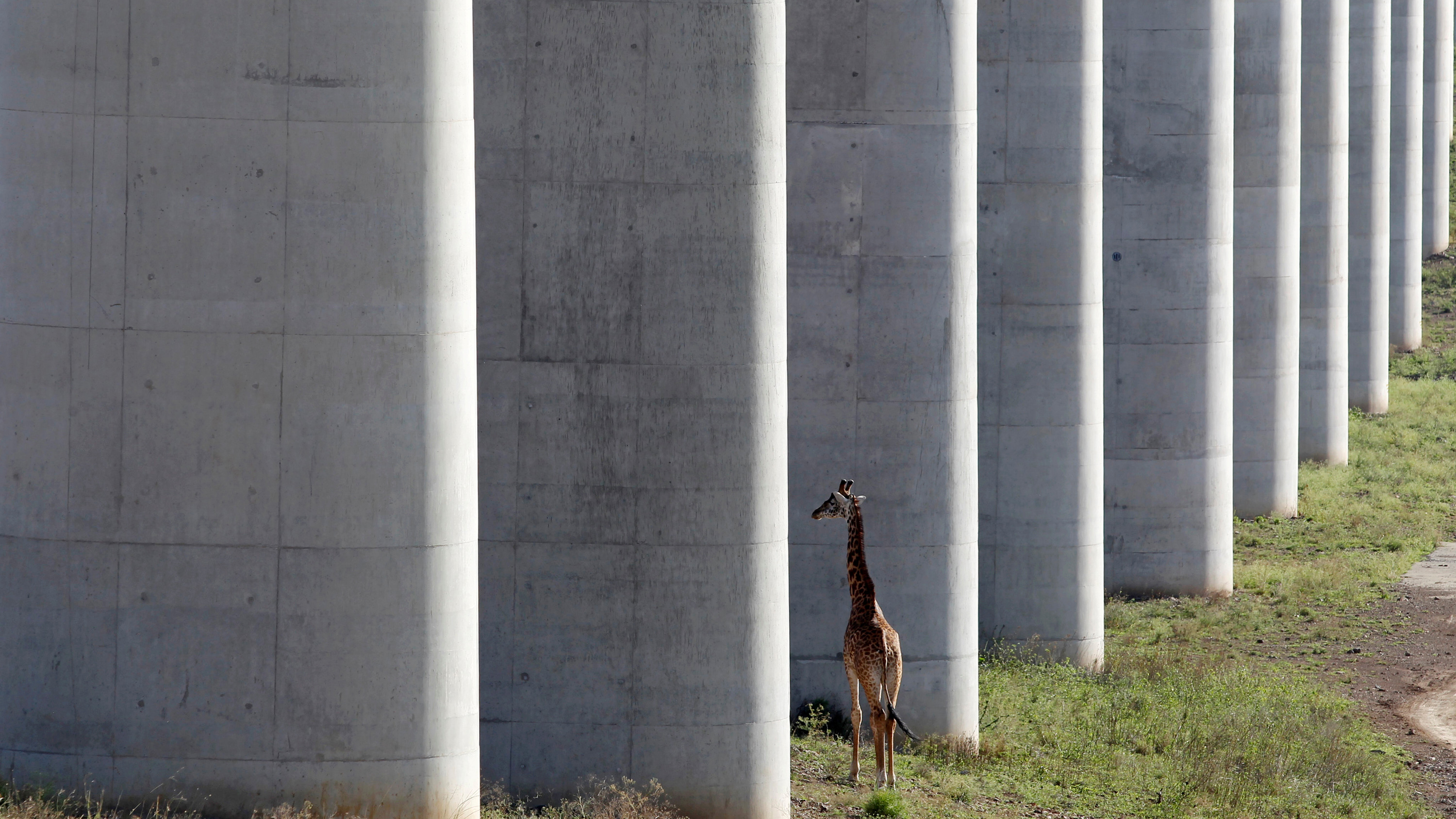Photo shows a high bridge constructed in such a way that animals can pass freely beneath its support structure.