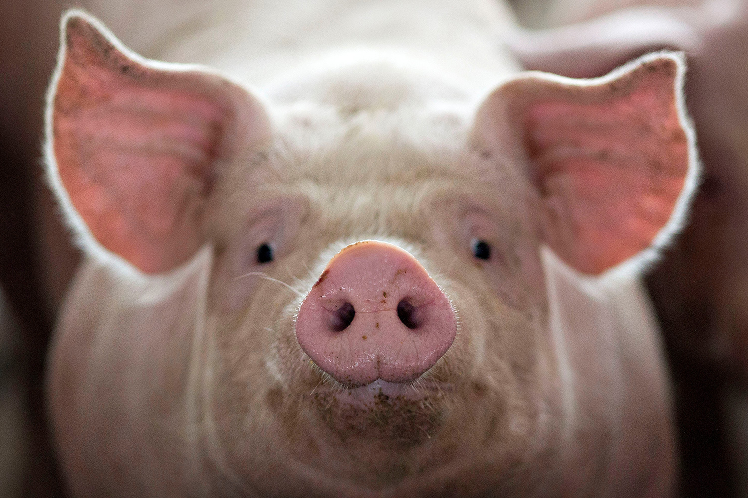 Picture shows a pig standing close to the camera and filling the frame with its ears and snout.