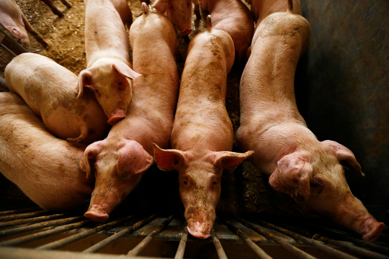 The photo shows a number of pigs in a pen from above.