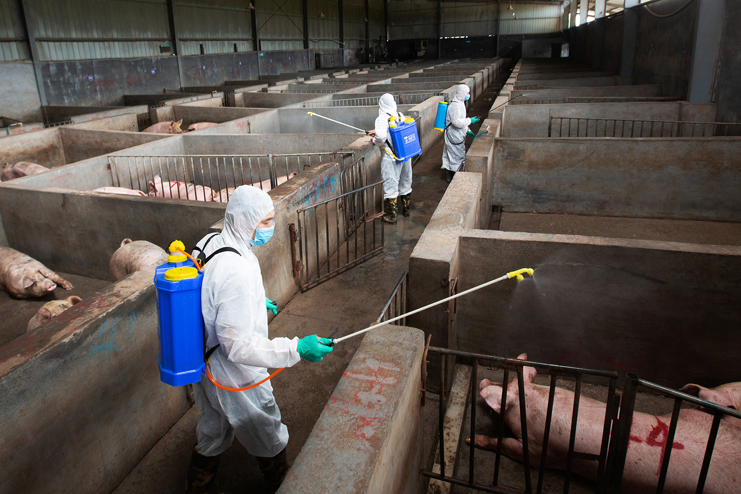 Picture shows the interior of a large pen with separate areas blocked off for different group of pigs. Workers in protective suits walk through and spray something.