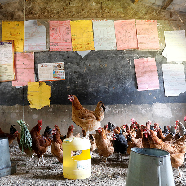 Education in Africa is being disrupted along with everything else—chickens here in a classroom converted into a poultry house because of COVID-19 in the town of Wang'uru, Kenya, on August 28, 2020. Picture shows a large gaggle of chickens inside a classroom, clucking around. One stands atop an overturned bucket. REUTERS/Baz Ratner