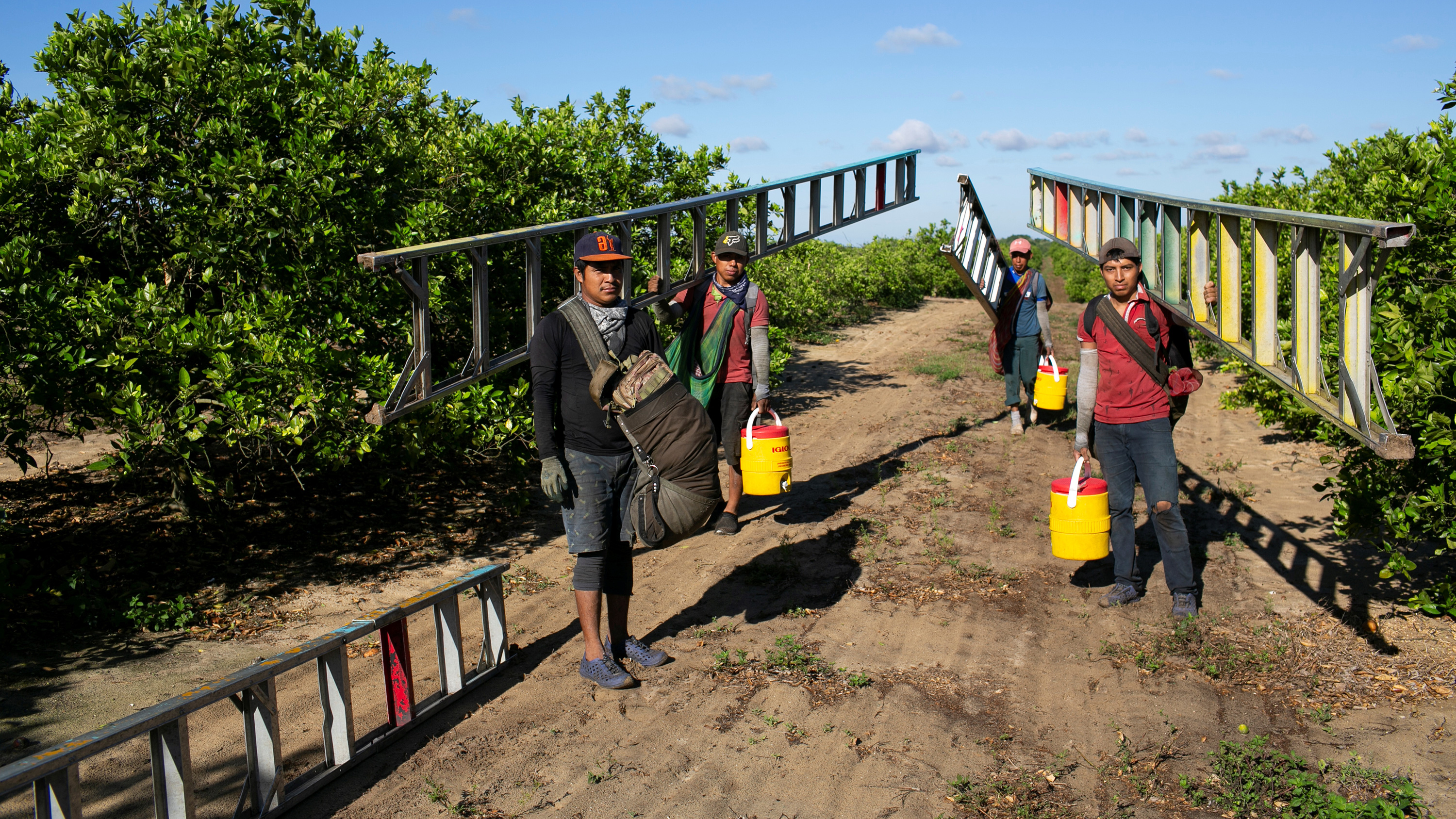 Picture shows several farm workers carrying long ladders among trees in an orange grove.