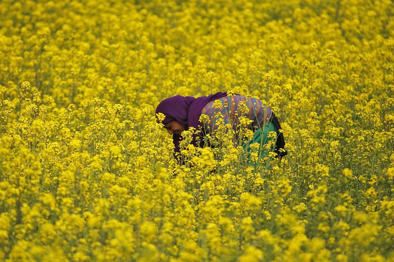 A million blooming flowers—and then some! Here a woman works inside her mustard field on the outskirts of Srinagar, India, on March 26, 2015. The photo shows a woman bending over in a field of bright yellow blossoms. REU-TERS/Danish Ismail