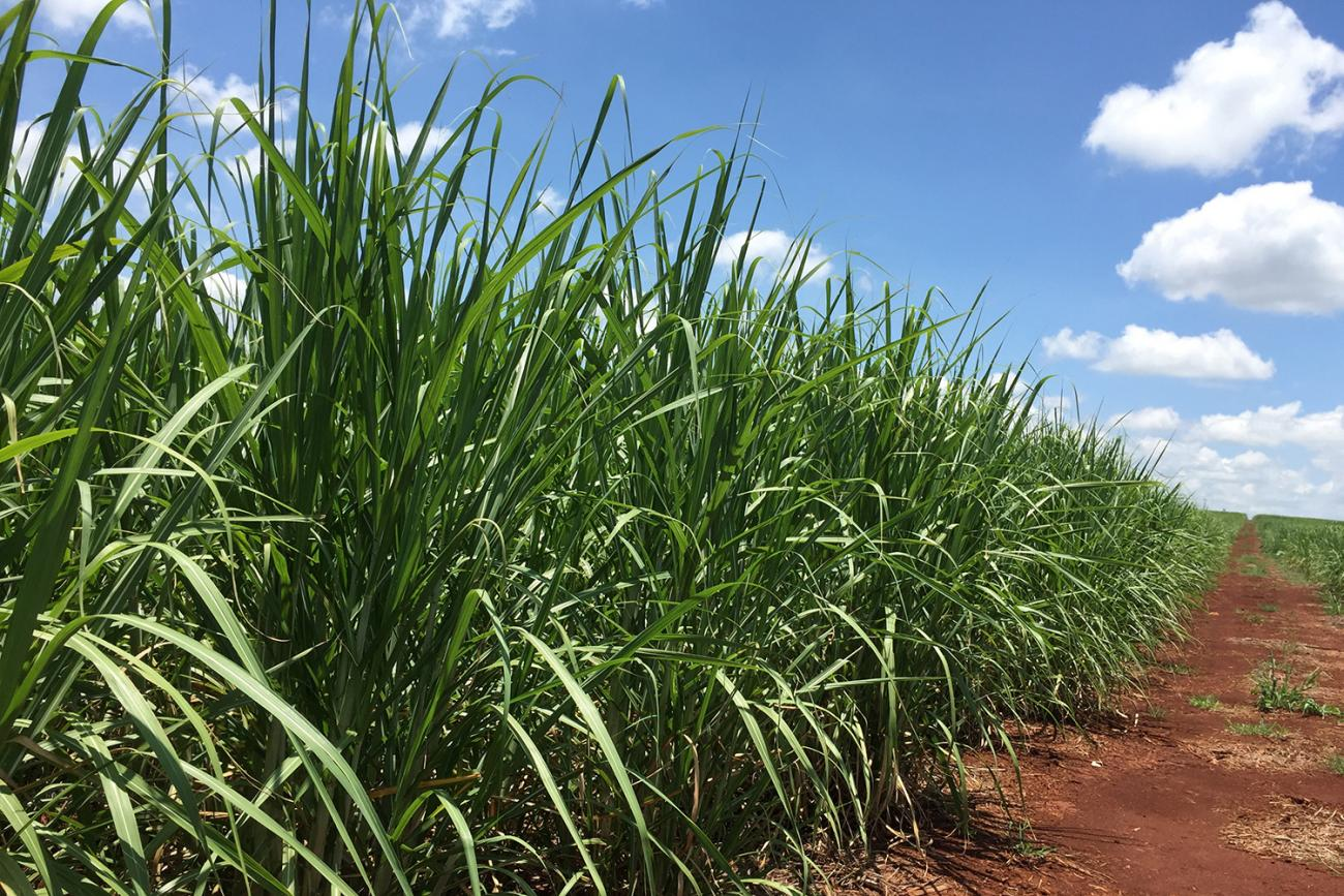 Kidney disease increases are concentrated among farm workers in hot, humid conditions, including sugarcane fields in Central America, similar to this one in Jacarezinho, Brazil on January 1, 2019. Picture is taken at the edge of a field on a sugar plantation on a spectacularly clear day. The earth is brown, the growing canes are green, and the deep blue sky has little fluffy clouds rolling in. REUTERS/Marcelo Texeira
