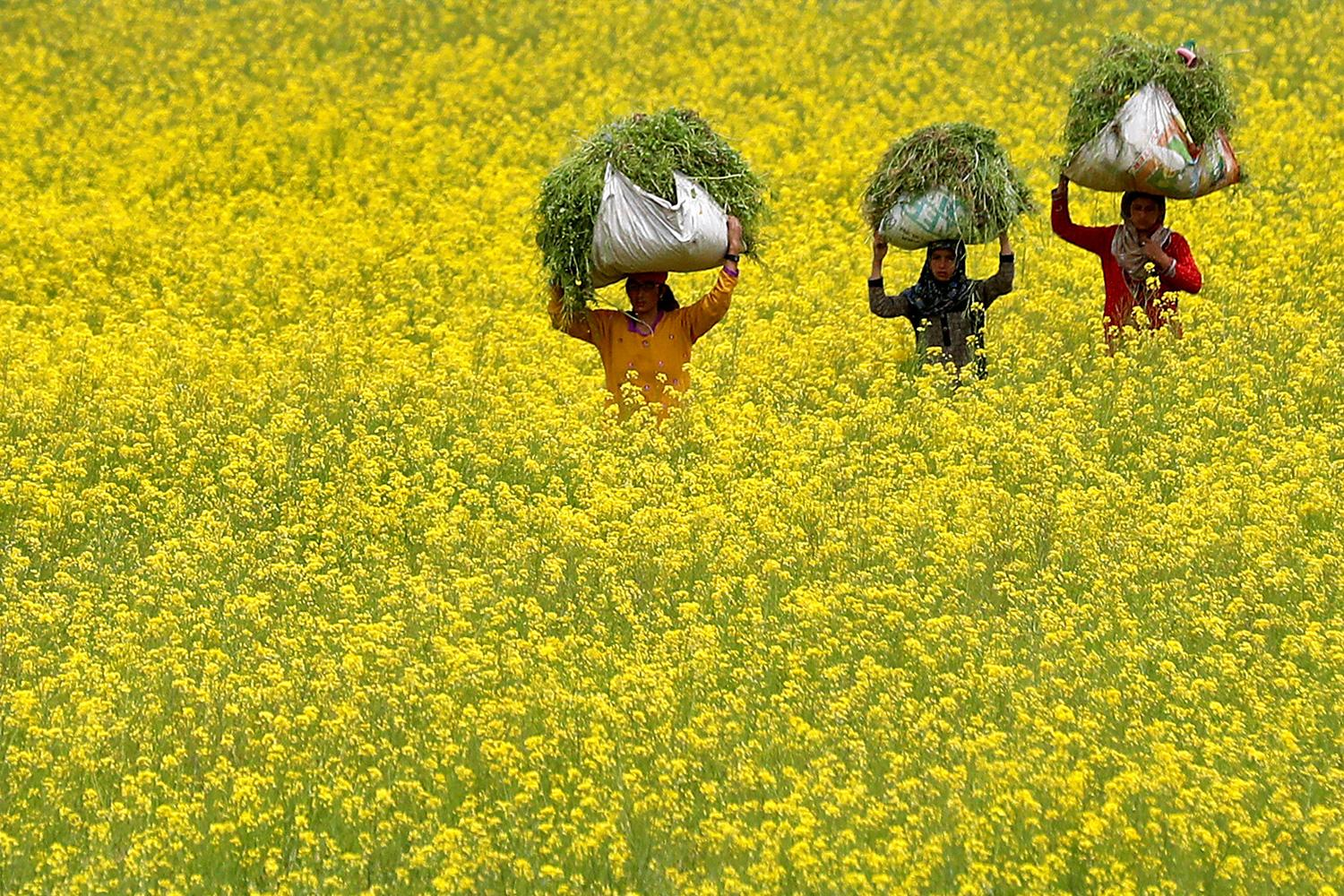 Snapshot from a time when it's far from normal: women carry cattle fodder through a mustard field on Earth Day, amid the coronavirus lockdown, on the outskirts of Srinagar, India, on April 22, 2020. This is a stunning photo showing three women with large bales of freshly cut plants on their heads walking through a field thrown into a yellow hue because of the flowering mustard greens. REUTERS/Danish Ismail