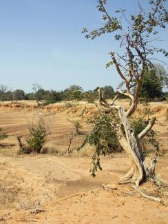 Parched land is pictured around the Lake Wegnia, in Sahel region of Koulikoro, Mali on November 22, 2019. Picture Shows a lonely tree, small and scrubby with many of its branches dead. It's in a dry gully with a few other green scrubby bushes scattered in the frame—but mostly nothing but dry yellow dirt and sand everywhere the eye can see off into the distance.
