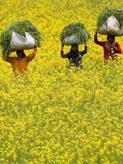 This is a stunning photo showing three women with large bales of freshly cut plants on their heads walking through a field thrown into a yellow hue because of the flowering mustard greens. REUTERS/Danish Ismail