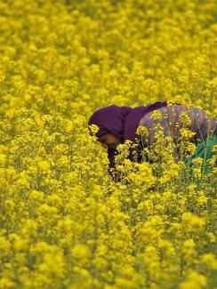 The photo shows a woman bending over in a field of bright yellow blossoms.